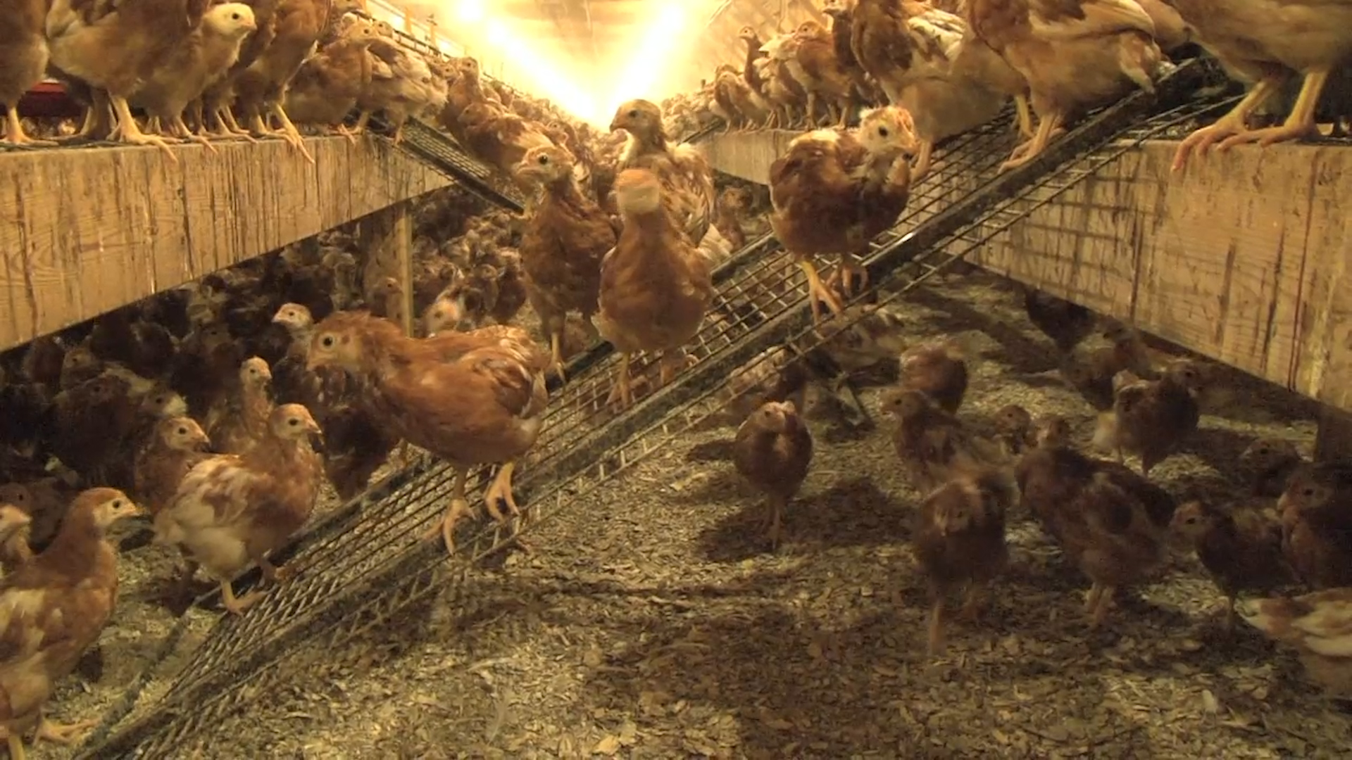 Cage-free Egg Production