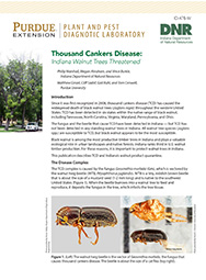 Thousand Cankers Disease: Indiana Walnut Trees Threatened