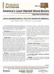 America's Least Wanted Wood-Borers:  Larch Sapwood Beetle, Scolytus morawitzi (Semenov)